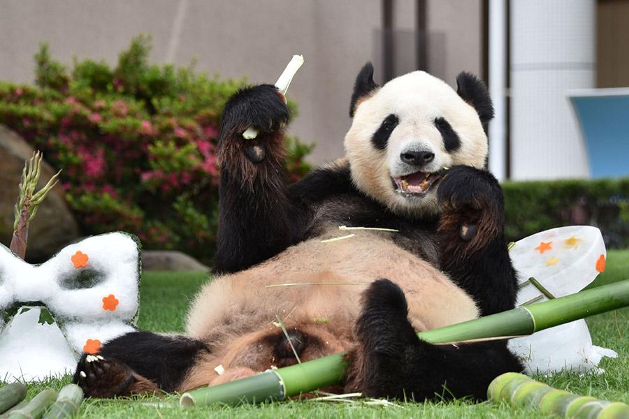 『第10回 日本動物大賞』グランプリを受賞したジャイアントパンダの永明(えいめい)