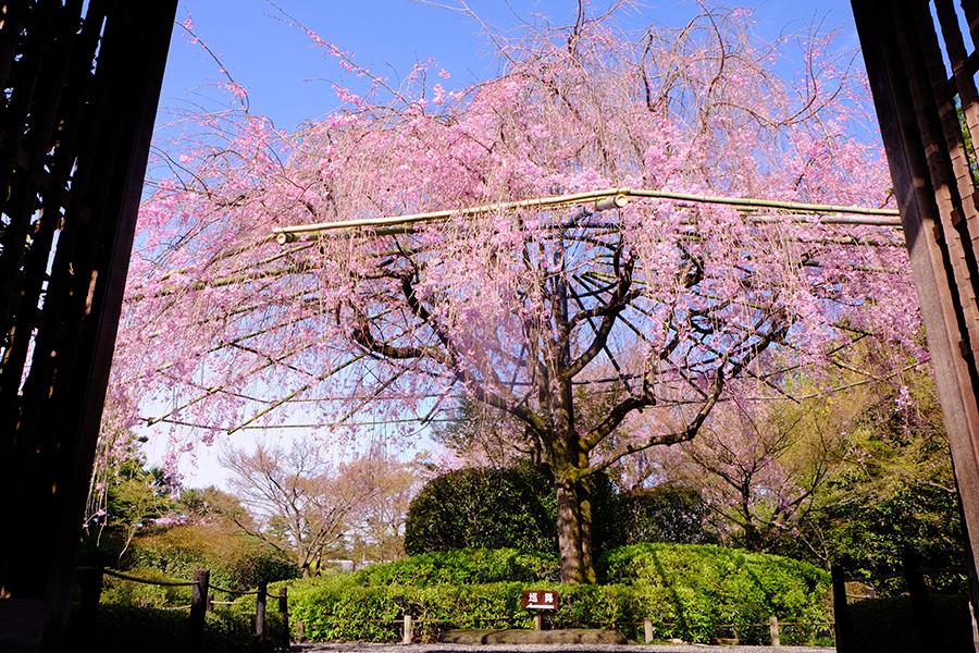 「余香苑」の樹齢60年余のしだれ桜
