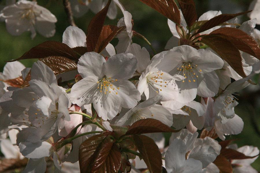 半八重の御室桜「御室有明(オムロアリアケ)」は、京都の伝統的な桜