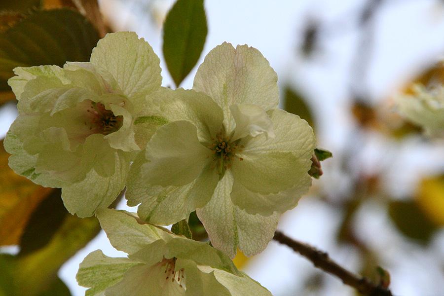 4月中旬に咲く予定の「鬱金(ウコン)」