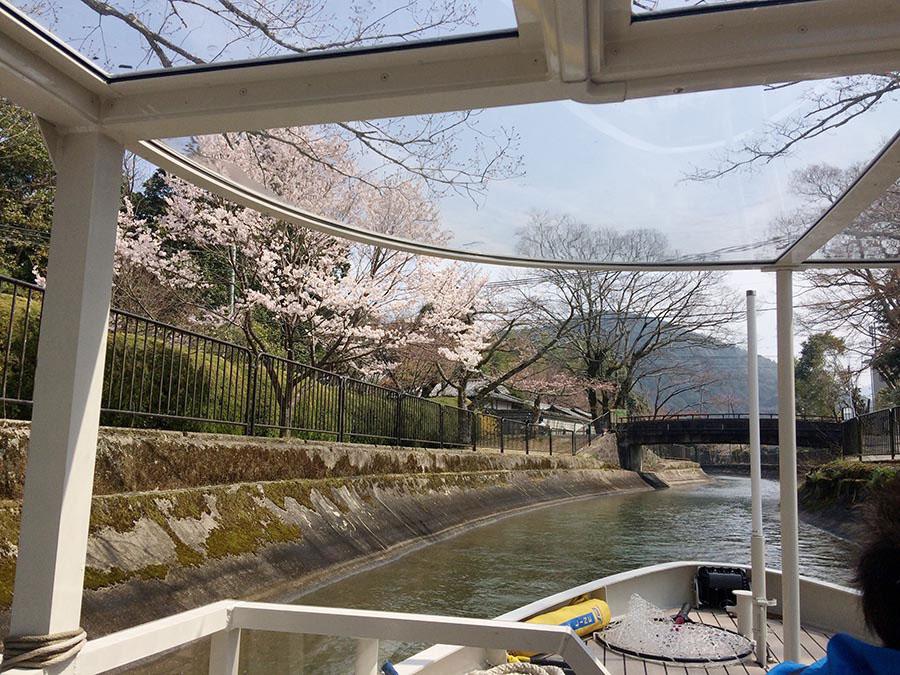 桜並木のトンネルを抜けるように進む疏水船