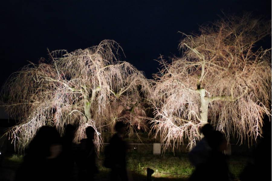 満開の時期になると圧巻の景色となる「桜の園」も幻想的に