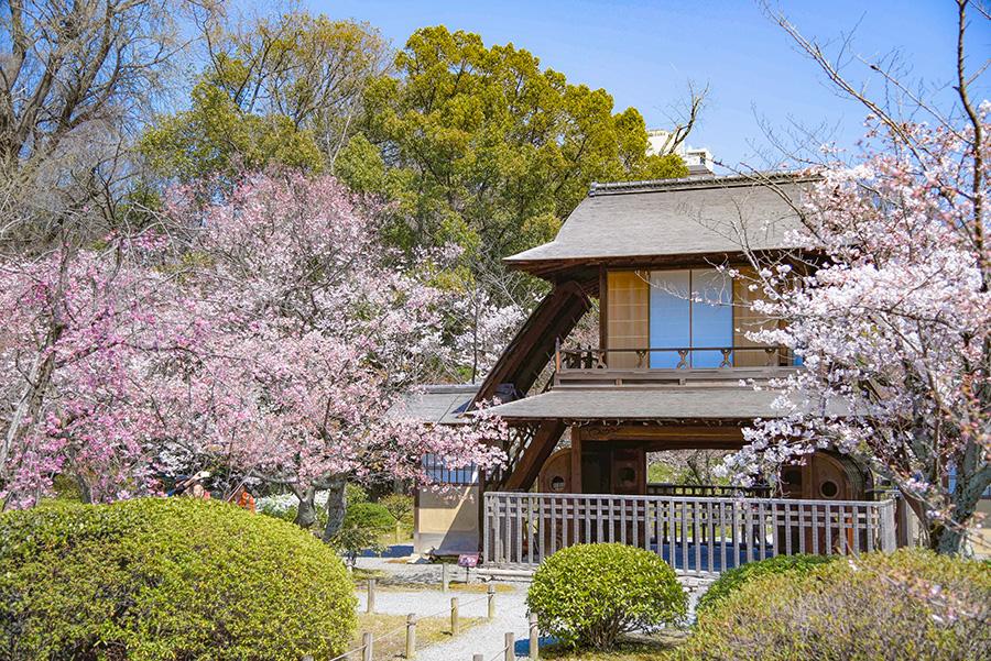 渉成庵の庭園(要寄付)では、ちょうど桜も楽しめる