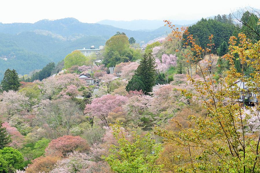 設立10周年となる2018年、吉野の桜は例年より2週間開花が早く、下千本、中千本、上千本が一気に満開になった(奈良県吉野郡)