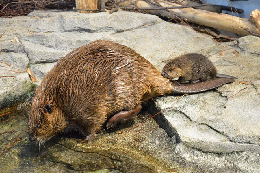 お母さんの尻尾に乗ってそのまま水に入ることも