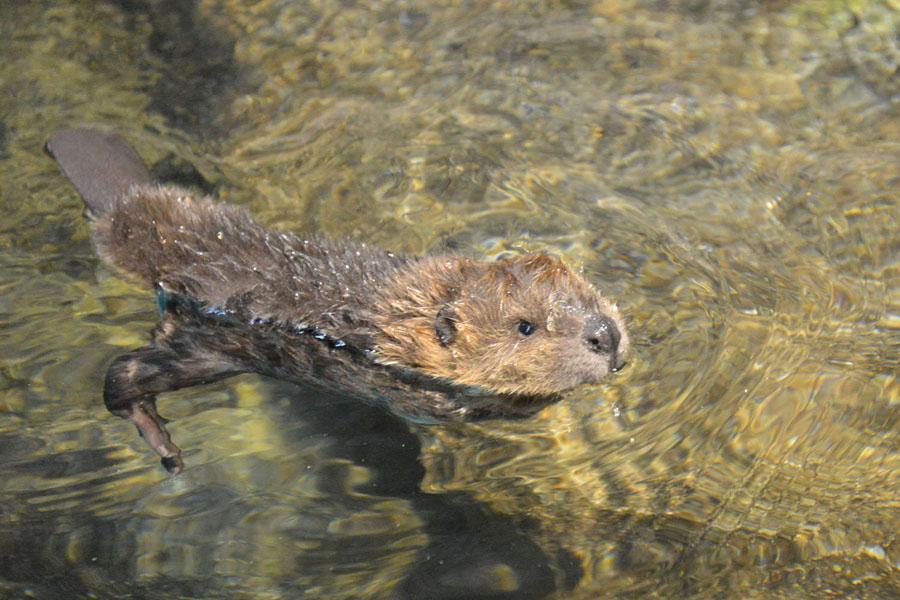 小さくても大きな尻尾と後ろ足の水かきを使って立派に泳ぐ