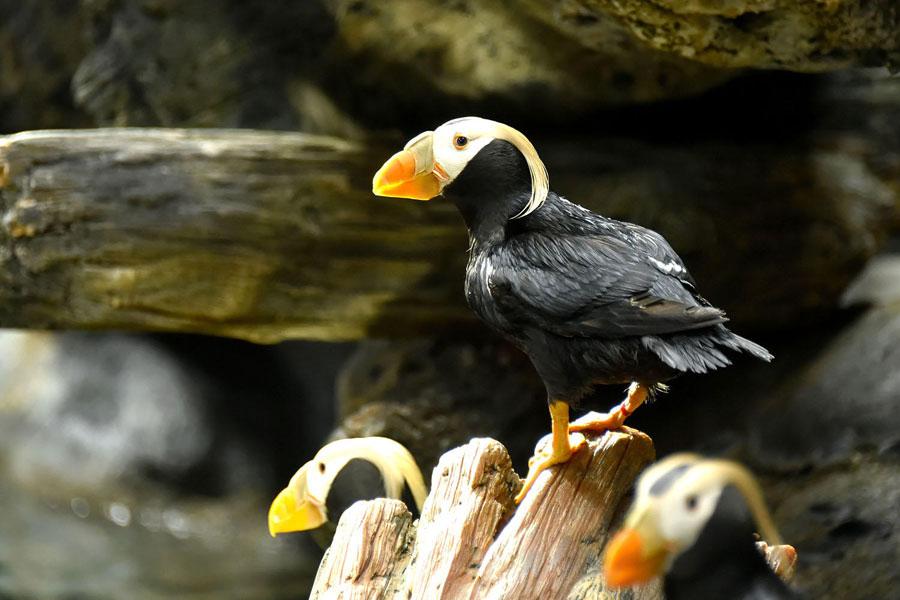 夏季に頭部を彩る飾り羽は美しく、その姿から「花魁(おいらん)鳥」の異名を持つ