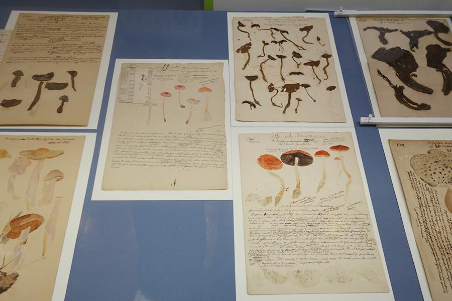 絵とともに、本物のきのこの標本も収められている南方熊楠の菌譜