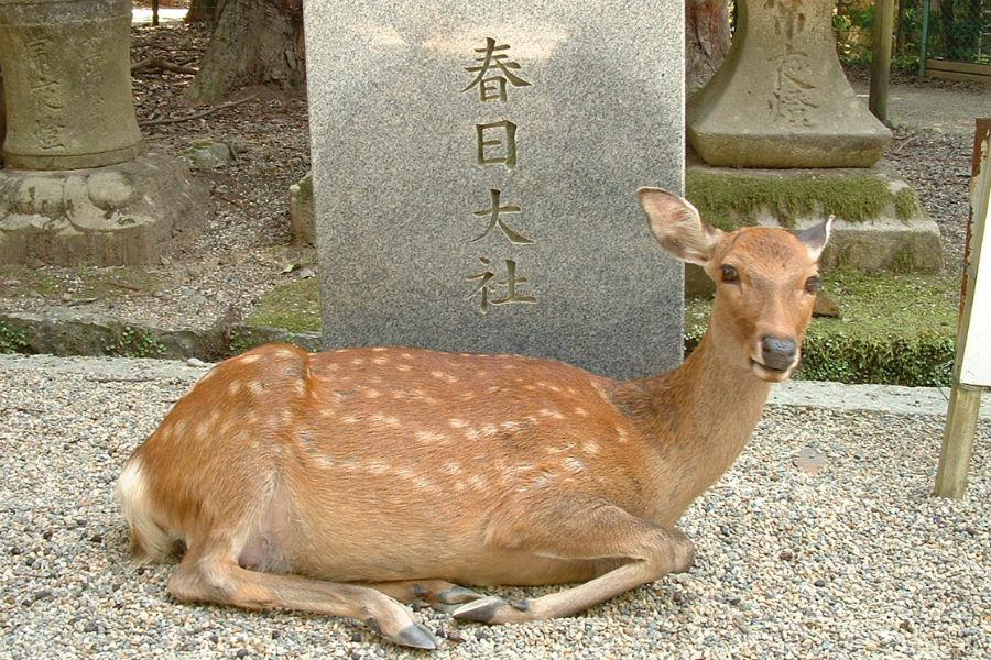 奈良公園では多くの鹿と戯れることができる