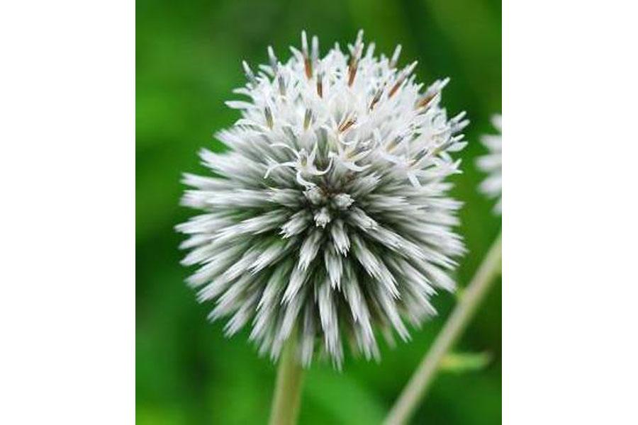 非常に貴重だという白いヒゴタイの花