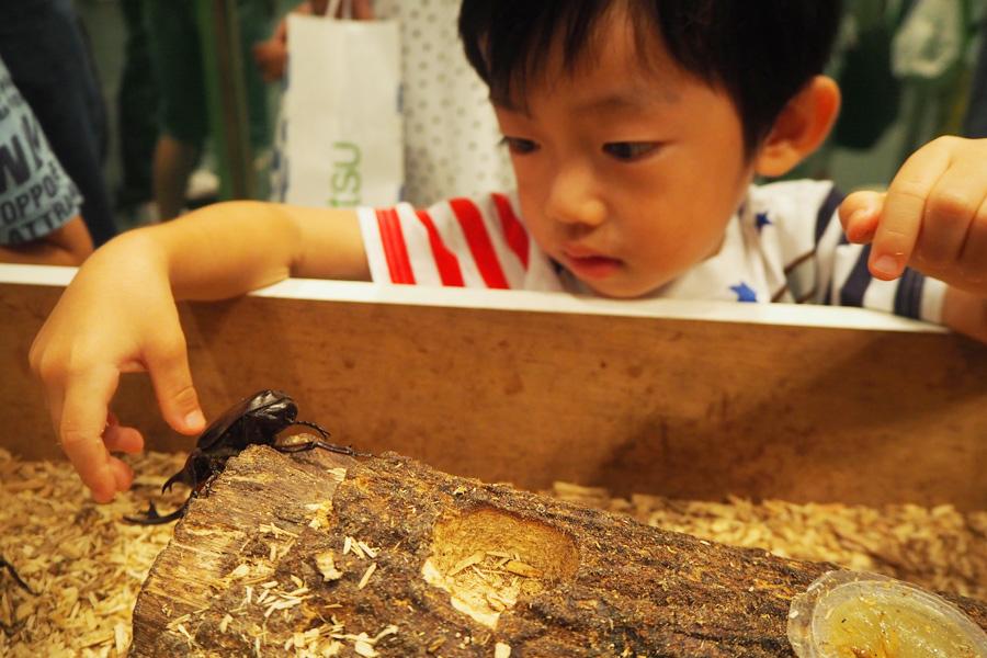 図鑑を見てずっと憧れてたという男の子、念願のカブトムシに夢中!