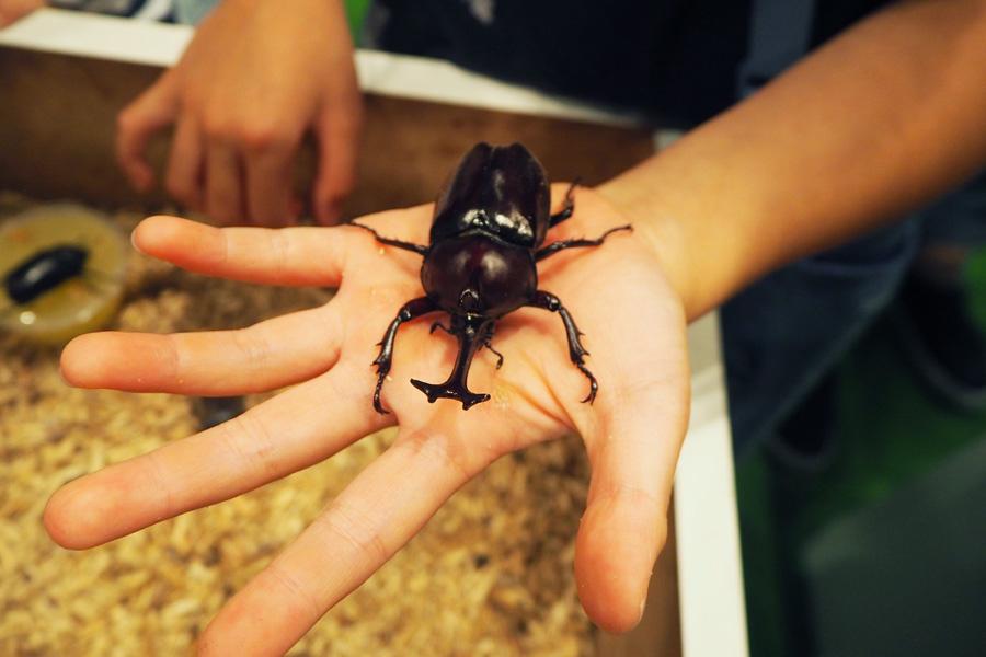 手に乗せると、カブトムシの足のトゲトゲの感触を実感できる