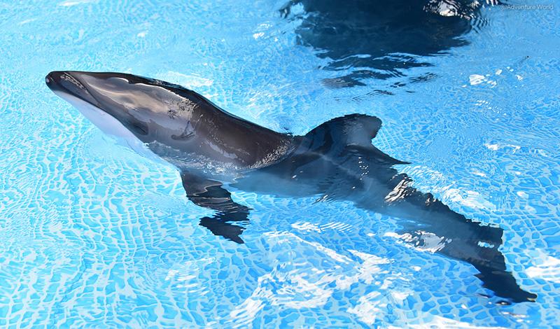 カマイルカの赤ちゃんはオスで、体長約100センチ、体重約10キロ