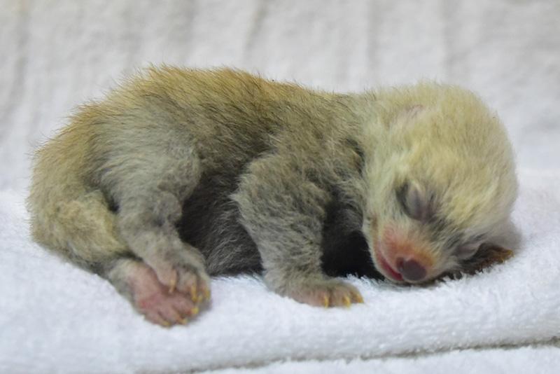 母乳を飲んで順調に成長しているレッサーパンダの赤ちゃん