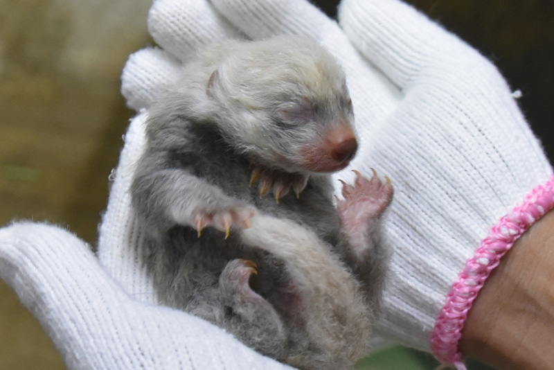 体重140グラム、産まれたばかりのレッサーパンダ