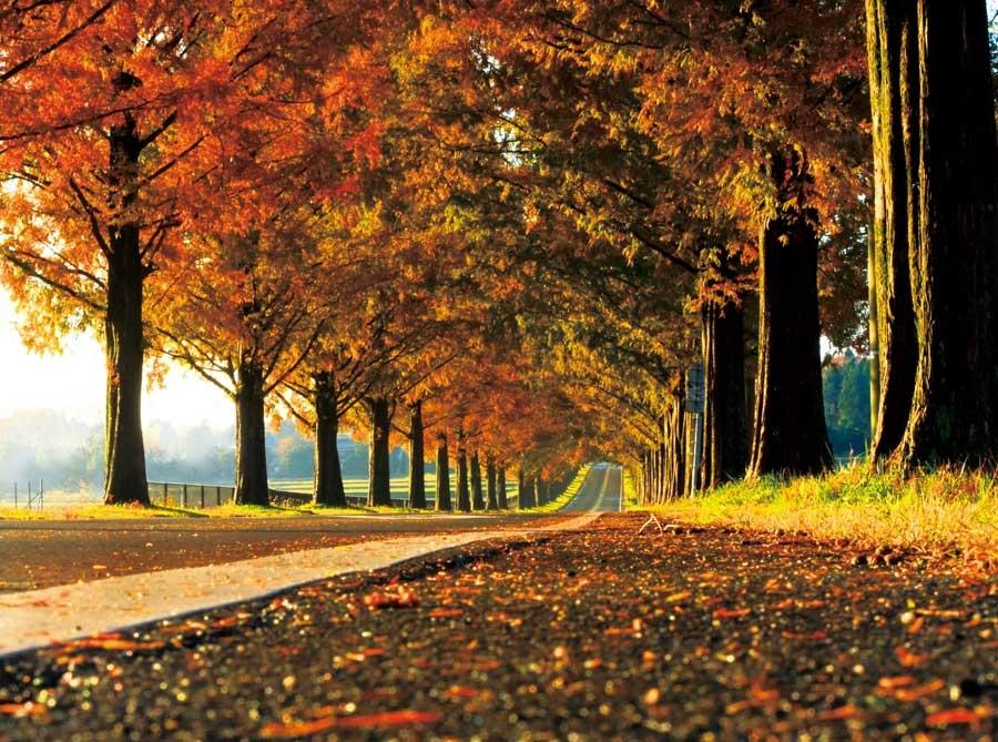 赤く色づく並木が圧巻で、紅葉の季節には多くの人が足を運ぶ。同商品の売上の一部は、メタセコイア並木の保全活動に役立てられている