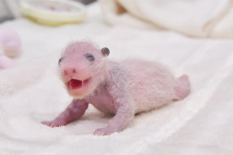 「腕や背中のあたりの肌が、より黒くなり始めました」とパンダらしさが増す赤ちゃん