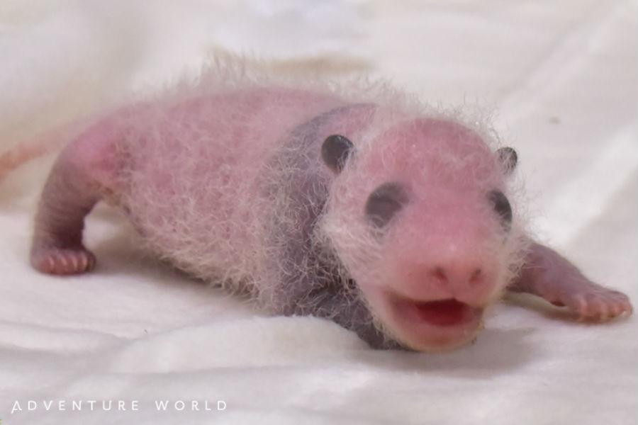 耳や目、腕の肌が黒く色づきはじめ、パンダらしい姿になってきた赤ちゃん