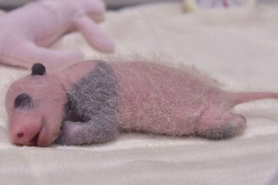 前日より28.8グラム増加し、224.6グラムとなったジャイアントパンダの赤ちゃん
