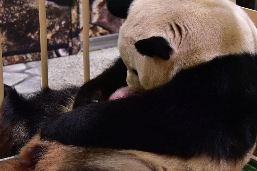 母親の良浜に抱かれるパンダの赤ちゃん