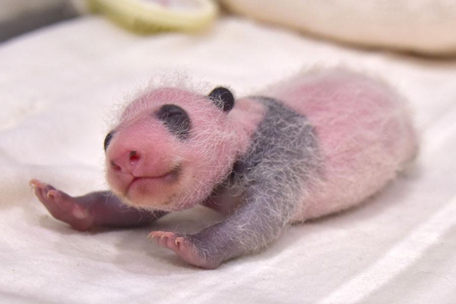 前日より29.8グラム増加し、276.8グラムとなったジャイアントパンダの赤ちゃん