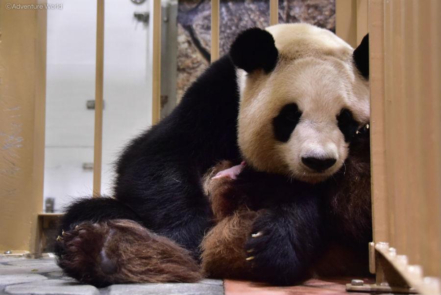母親「良浜(らうひん)」の乳房を探るパンダの赤ちゃん