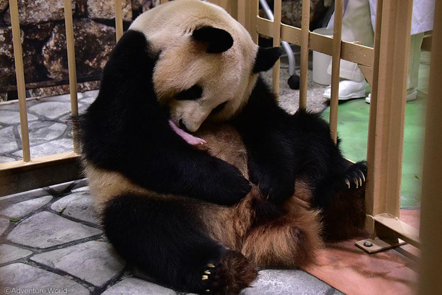 母親「良浜(らうひん)」の胸の上で休むパンダの赤ちゃん