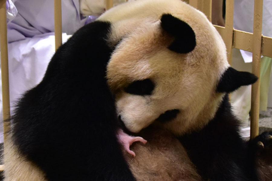 母親「良浜(らうひん)」の胸で落ち着くジャイアントパンダの赤ちゃん