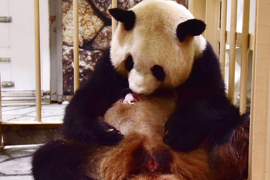 過去最小のパンダの赤ちゃん、和歌山に