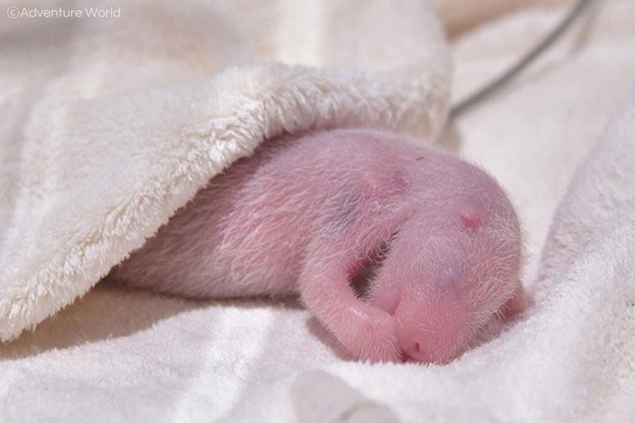 8月14日生まれのジャイアントパンダの赤ちゃん(2日齢)