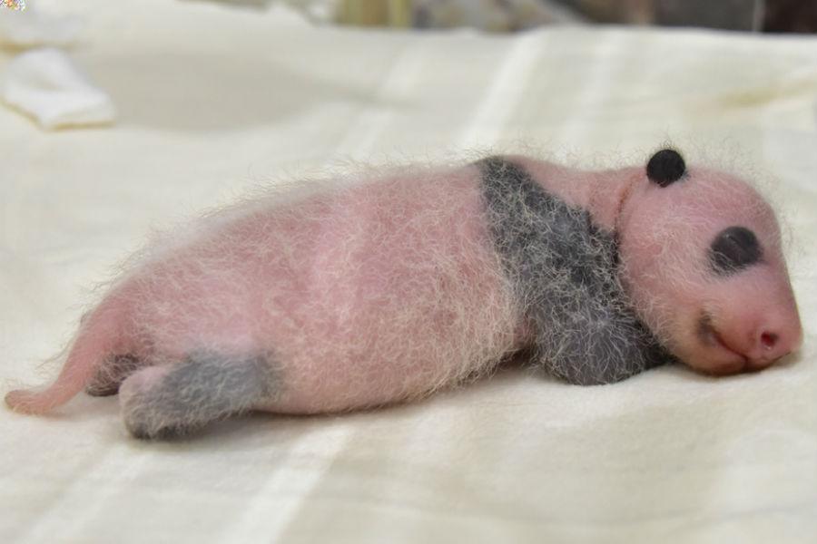 45グラム増加し、体重が一気に300グラム台にのったパンダの赤ちゃん