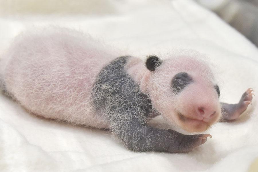 前日から25.6グラム増加し347.4グラムに。赤ちゃんの体がだんだん白い毛に覆われ始めた