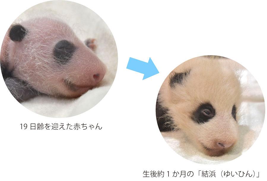 過去最大の体重で生まれたお姉ちゃんパンダ・結浜は、すでに約1カ月齢で薄目を