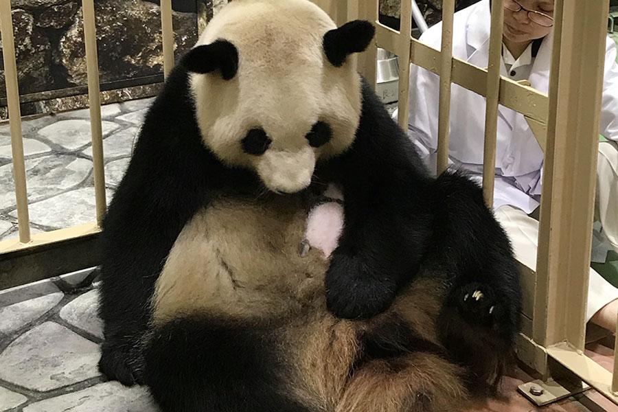大事そうに赤ちゃんを支える母親パンダの良浜