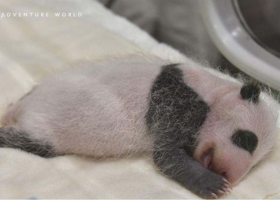 前日から45グラム増加し、504グラムになったジャイアントパンダの赤ちゃん
