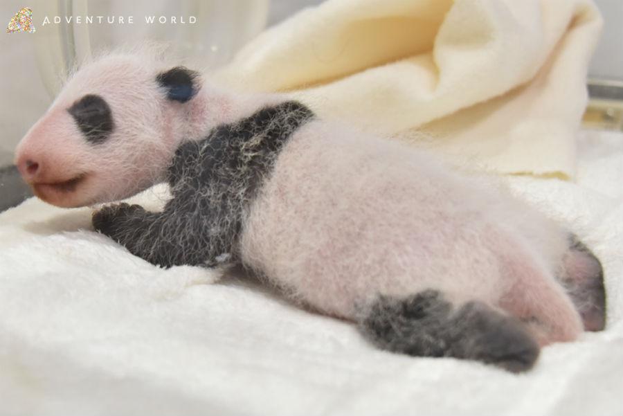 前日から35グラム増加し、539グラムになったジャイアントパンダの赤ちゃん