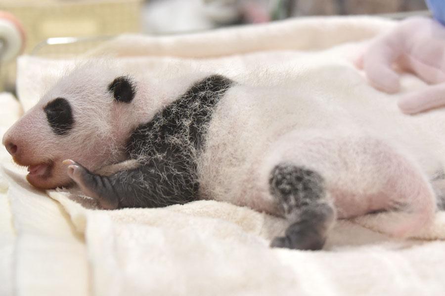 耳の黒さが目立ってきたジャイアントパンダの赤ちゃん。体重は、前日から34グラム増加し、573グラムに