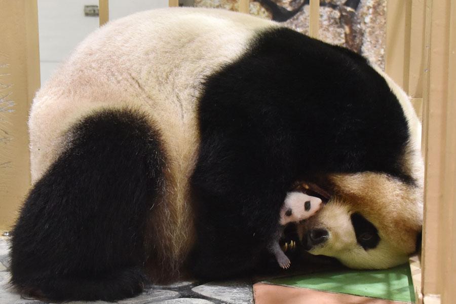 母親パンダの良浜の胸に抱かれても、はっきりと顔の模様がわかるようになってきた赤ちゃんパンダ