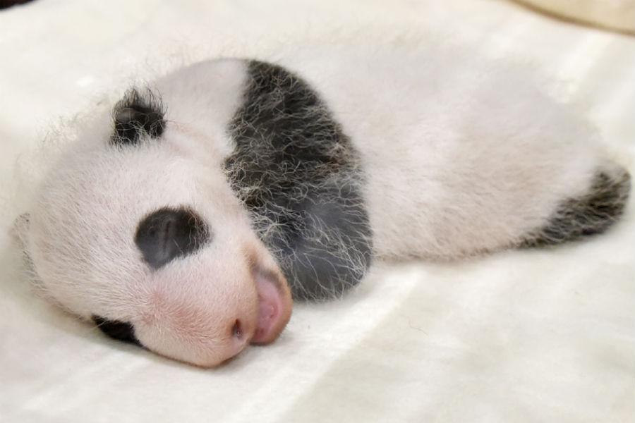 誕生時に75グラムだった体重が、651グラムにまで成長したジャイアントパンダの赤ちゃん
