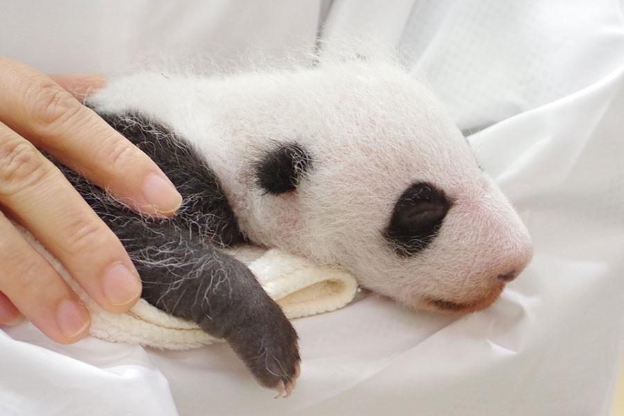 全長32.5センチメートル、体重731グラムに成長。13日から一般公開が始まったパンダの赤ちゃん