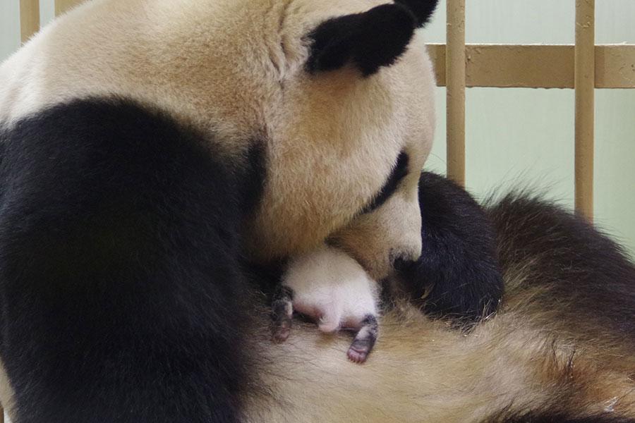 ちょろっと覗かせた赤ちゃんパンダのおしり