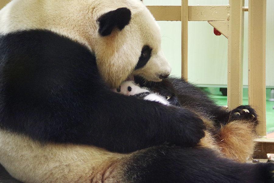 一般公開初日は、平日にかかわらず午前から1000人を超える観覧者を集めたジャイアントパンダの親子