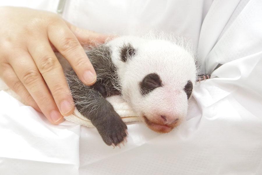 全長32.5センチメートル、体重731グラムに成長したパンダの赤ちゃん