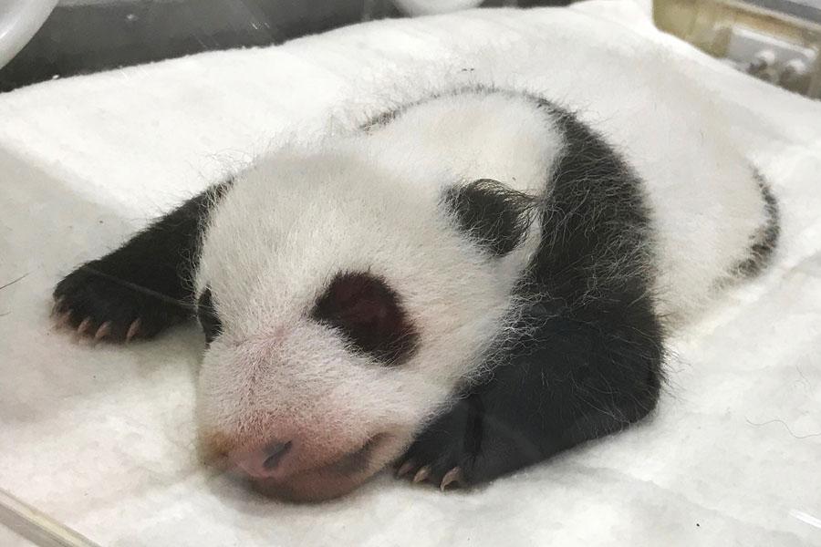 パンダ 赤ちゃん 後ろ姿