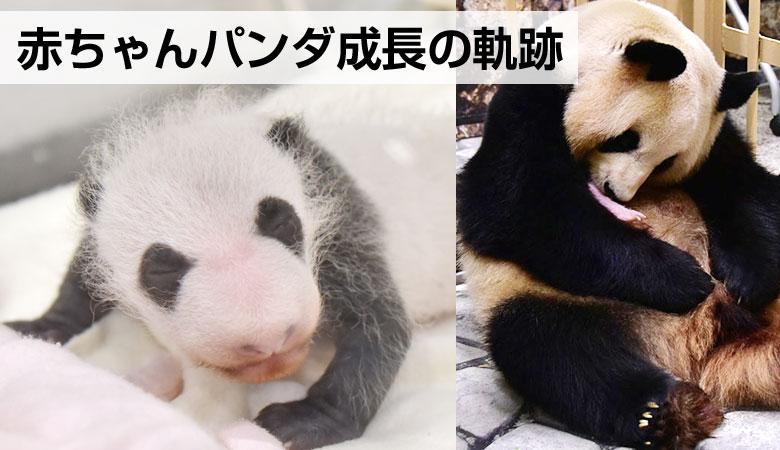 和歌山の赤ちゃんパンダ、成長の軌跡
