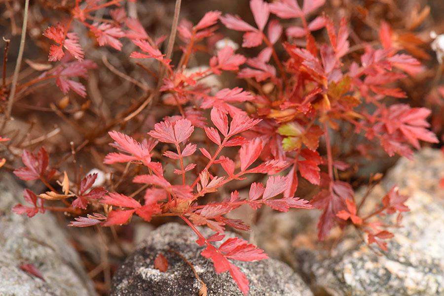 「チングルマ」の紅葉。地表を這うように育つ