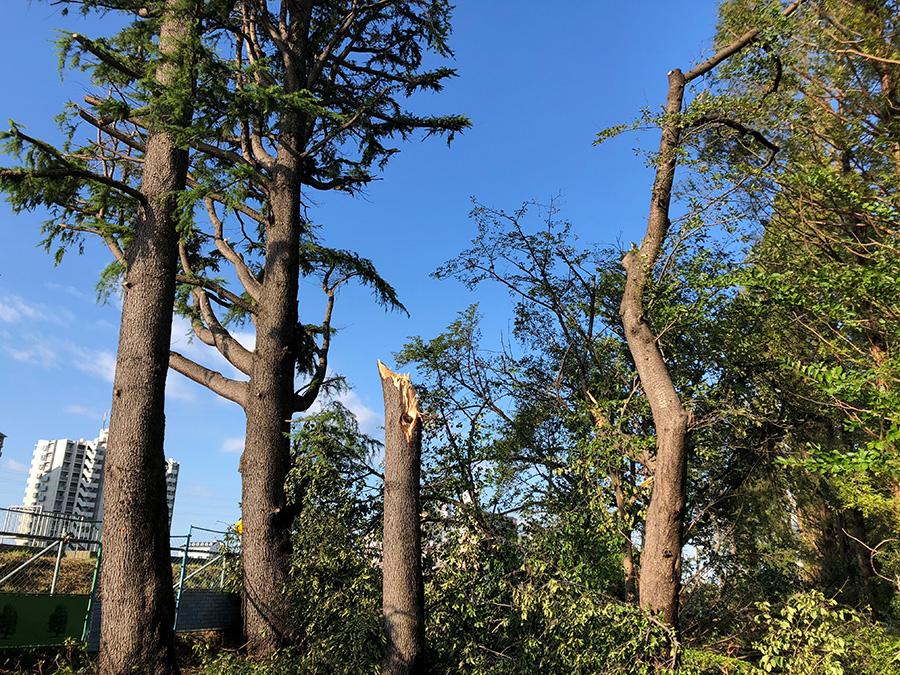 中ノ島公園で、幹の途中からちぎれてしまった松の木。同公園は、神崎川に面するため、風当たりが強いのかもしれない