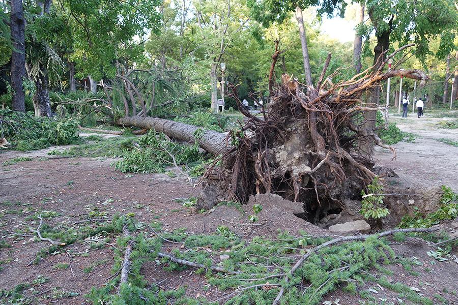 靱公園(大阪市西区)では、大木が根こそぎ倒れている