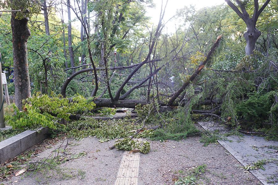 大木が倒れ、遊歩道をふさがれた靱公園(大阪市西区)