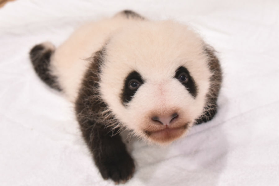 まんまるに目がしっかり開いた赤ちゃんパンダ。この日、1865グラムにまで成長した